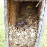 Inside a bluebird nesting box