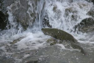 Salmon jumping at the base of the milldam