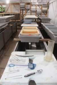 Tanks and trays filled in hatchery