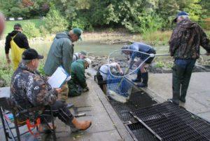 Netting fish in the side sluiceway