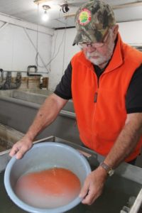 Fertilizing Salmon Eggs