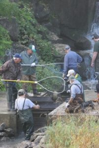 Collecting fish for spawning